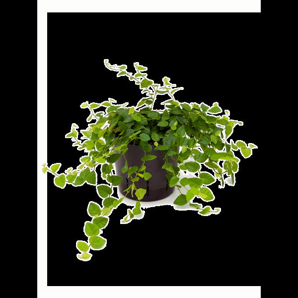Ficus Repens Sunny - hydrocultuur