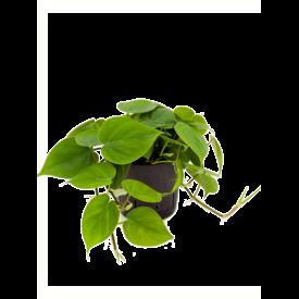 Fleur.nl - Philodendron Scandens - hydrocultuur