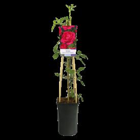Fleur.nl - Rosa 'Paul's Scarlet Climber'