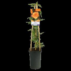 Fleur.nl - Rosa 'Orange Climber'