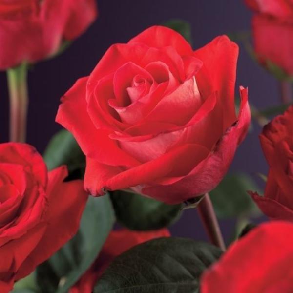 Rosa 'Red Climber'