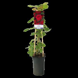 Fleur.nl - Rosa 'Red Climber'