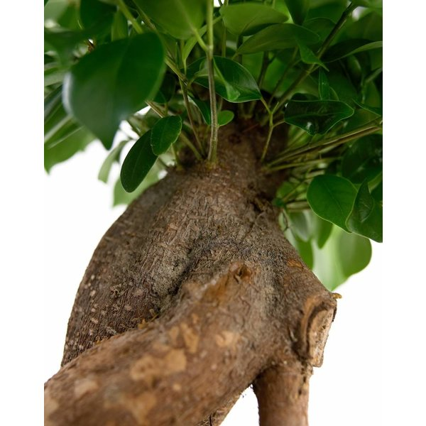 Ficus Bonsai S-vorm Large