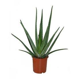 Fleur.nl - Aloe Vera plant