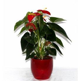 Fleur.nl - Anthurium Rood in Verapot rood