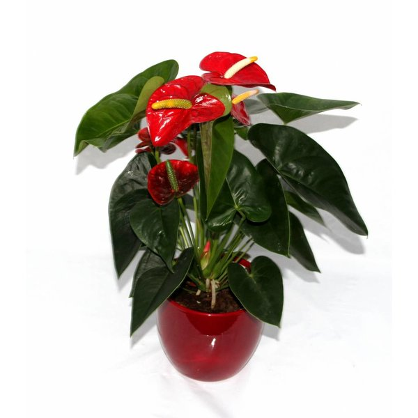 Anthurium Rood in Verapot rood