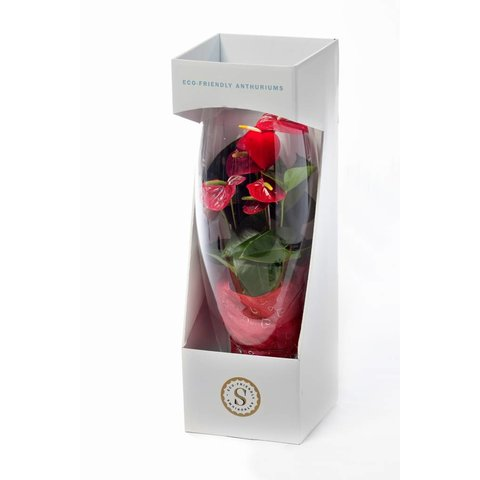 Anthurium Rood in vaas Majest Small