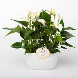 Fleur.nl - Anthurium Wit in schaal venis small