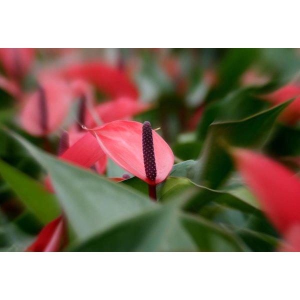 Anthurium Donker roze medium