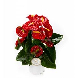 Fleur.nl - Anthurium Rood medium