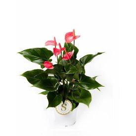 Fleur.nl - Anthurium roze small