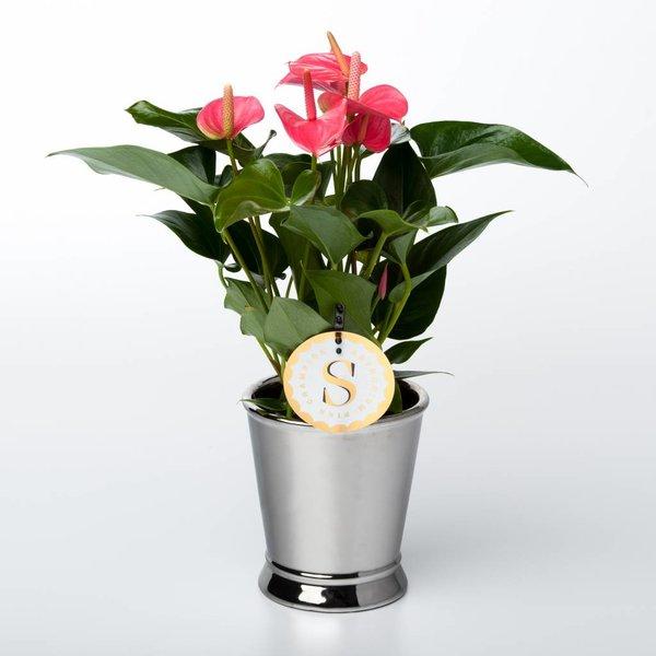 Anthurium roze small