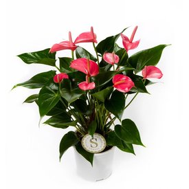 Fleur.nl - Anthurium roze medium