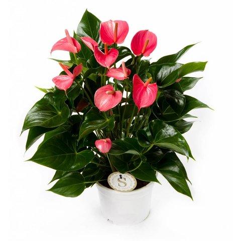 Anthurium roze large