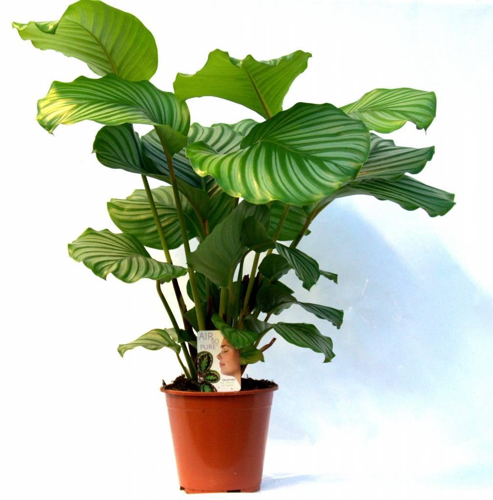 Grote Groene Plant.Calathea Plant Live Eenvoudig En Snel Online Bestellen