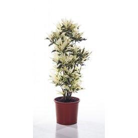 Fleur.nl - Croton struik mrs Iceton large