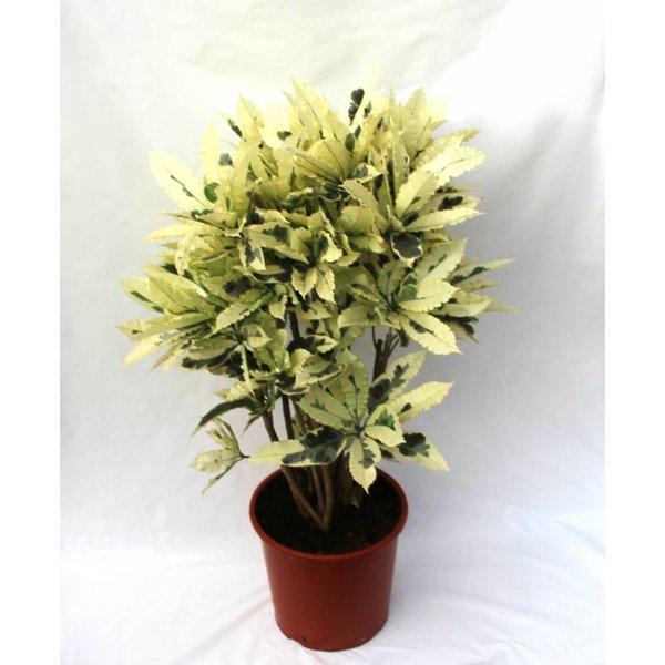 Croton struik mrs Iceton large