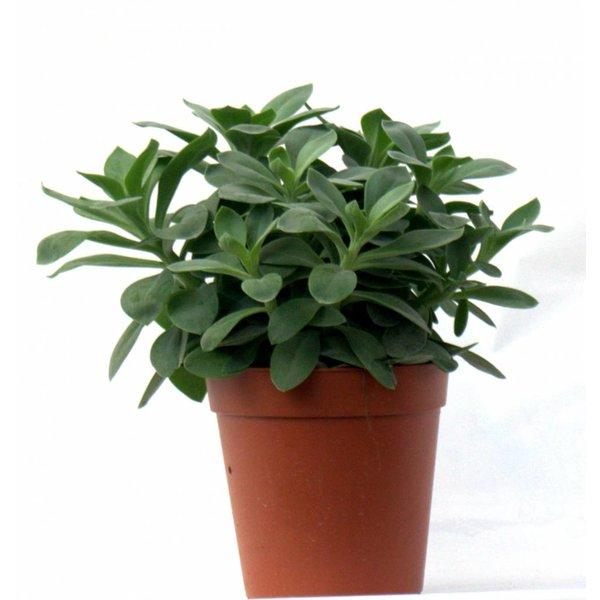 Vetplant Senecio cephalophorus