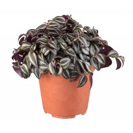Fleur.nl - Vetplant Vaderplant Red