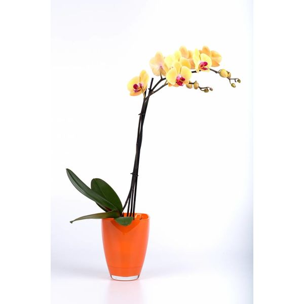 Orchidee Yellow in pot glas orange