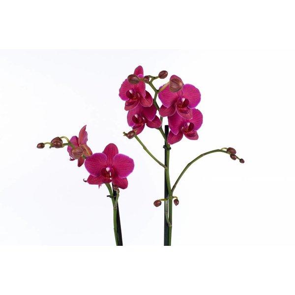 Orchidee Palmas Purple