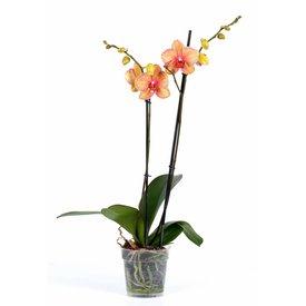 Fleur.nl - Orchidee Orange Stripe