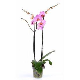 Fleur.nl - Orchidee Pink Violin