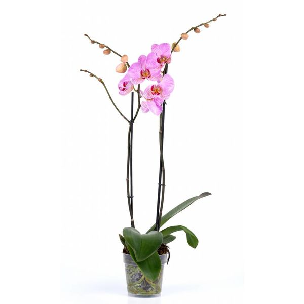 Orchidee Pink Violin