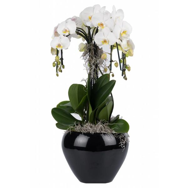 Orchidee Waterfall in pot Black