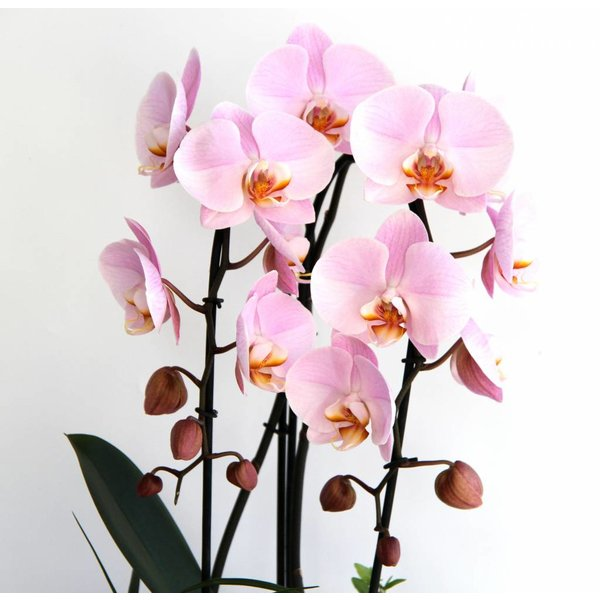 Orchidee pink in pot Cascade Complete
