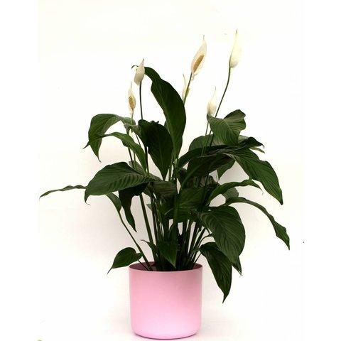 Spathiphyllum large in pot Elho