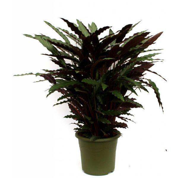 Calathea Rufibarba XL
