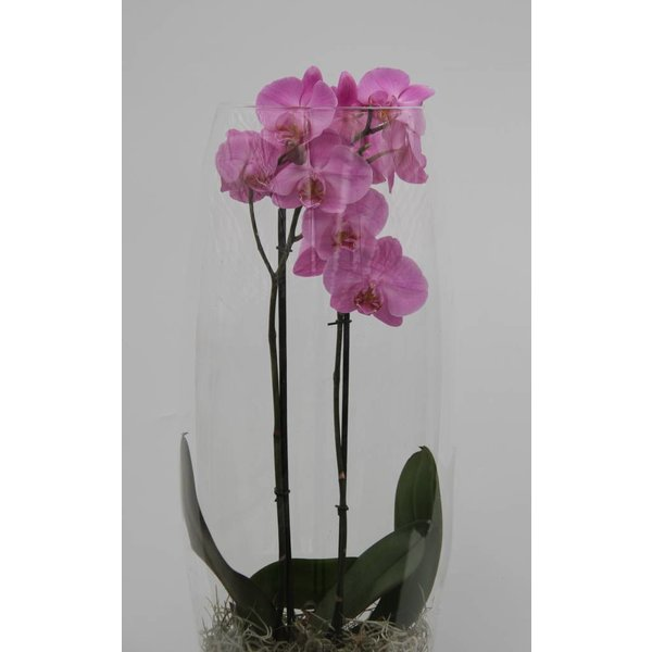 Orchidee Pink in vase Majestic