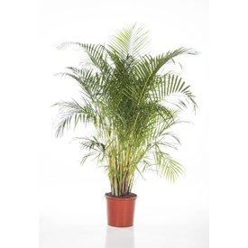 Fleur.nl - Palm Areca Lutescens XL