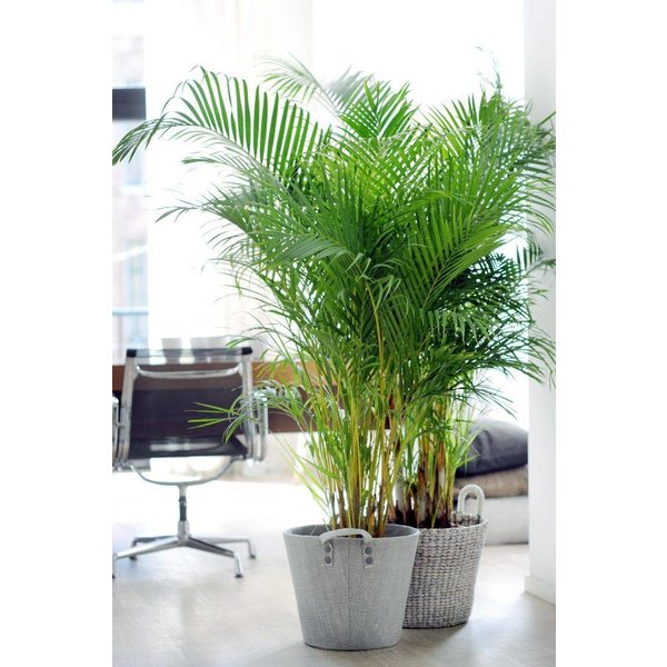 Palm Areca Lutescens XL