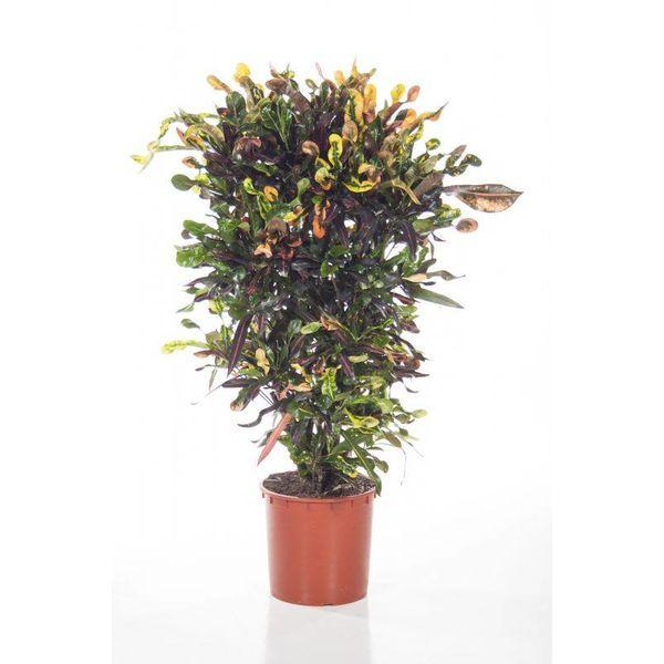 Croton struik Curled large