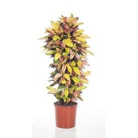 Fleur.nl - Croton stuik XL