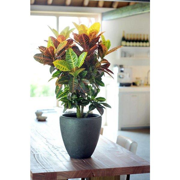 Croton stuik XL