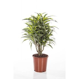 Fleur.nl - Dracaena Compacta Surprise Medium