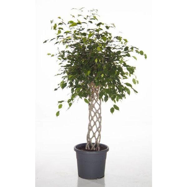 Ficus Exotica Benjamina gevlochten rek