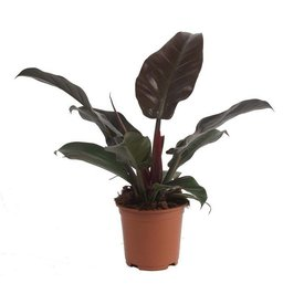 Fleur.nl - Philodendron Imperial Red small