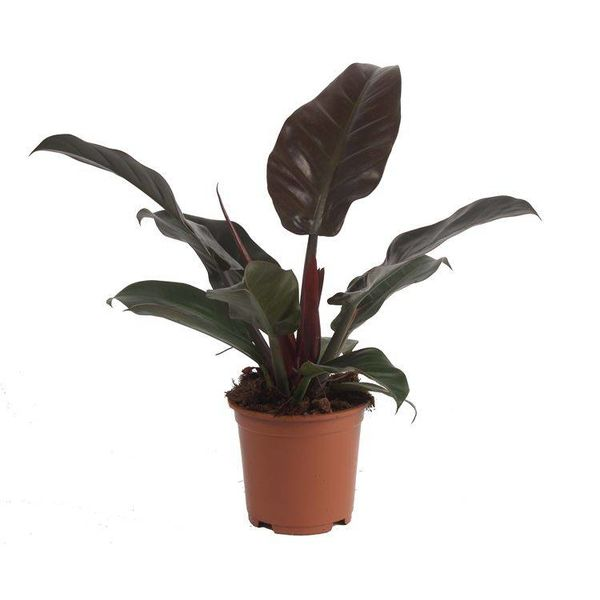 Philodendron Imperial Red small