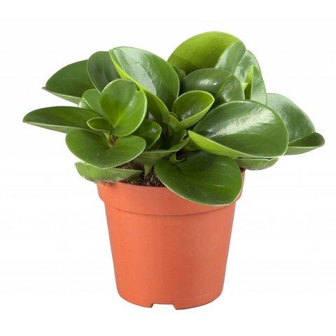 Vetplant Peperomia obtusifolia groen