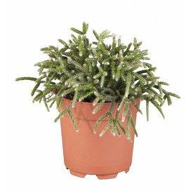 Fleur.nl - Rhipsalis Pilocarpia Vetplant