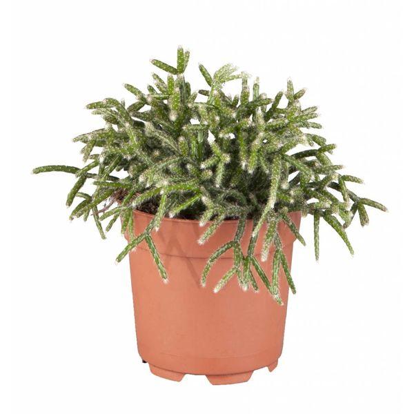 Rhipsalis Pilocarpa Vetplant