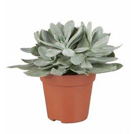 Fleur.nl - Vetplant Senecio cephalophorus