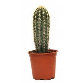 Fleur.nl - Cactus Trybes