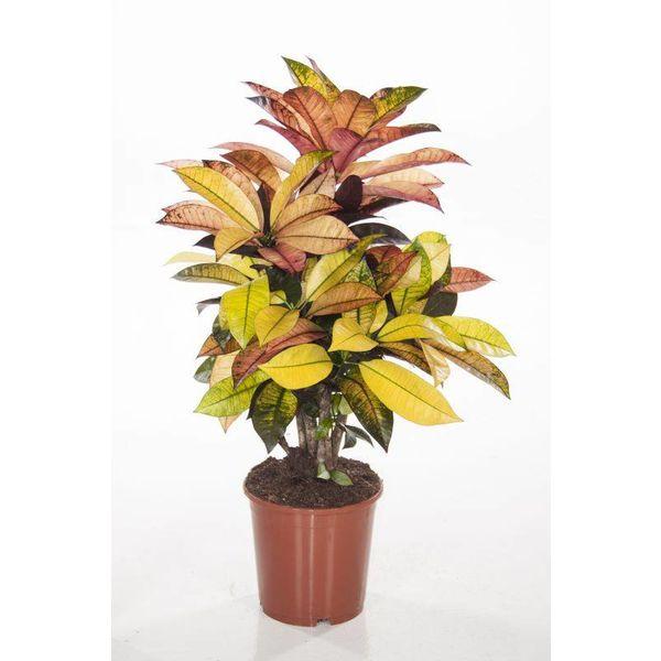 Croton stuik medium