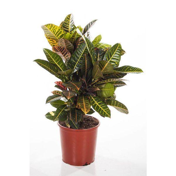Croton struik Nerve large