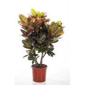Fleur.nl - Croton struik nerve XL